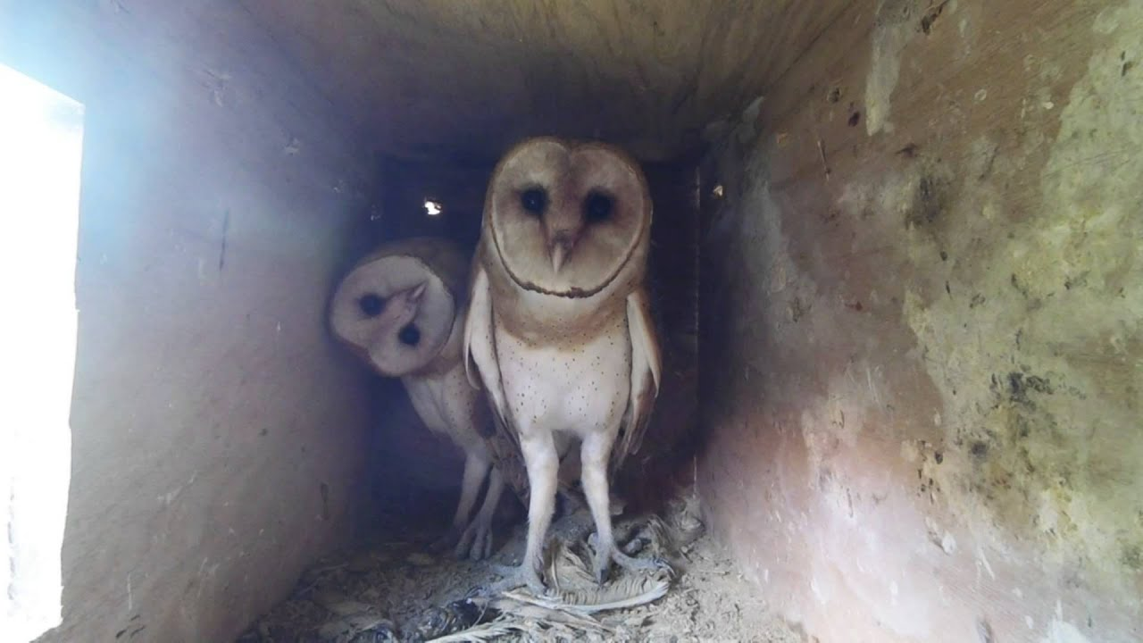 Barn owls nest cam - YouTube