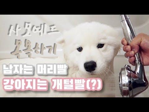 [ENG Sub] 사랑스런 사모예드 강아지 목욕시키기