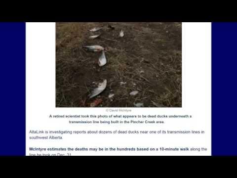 2MIN NEWS HUNDREDS OF DEAD DUCKS IN ALBERTA, CANADA