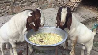 Welcome New Home South Africa Nepal Boergoat