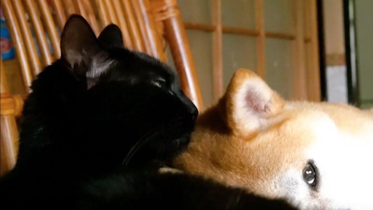 犬を甘やかす猫 Momo is being spoiled by Ten