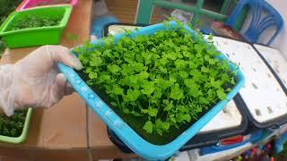 วิธีปลูกคื่นช่ายไร้ดิน:ผักไฮโดรโปนิกส์ปลูกในกะละมัง|| How to grow Celery at home. ep.86