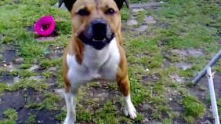 Staffordshire Bullterrier Jumps 6 Foot Fence