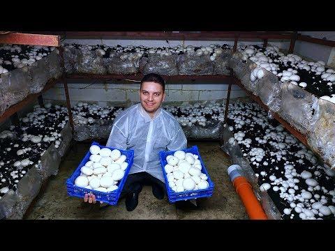 Как вырастить грибы в домашних условиях шампиньоны в подвале