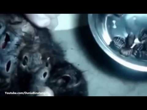 VIDIO MONYET DI GROGOTI PARASITTT NGERIIII