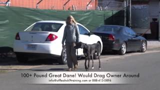 Check Out This Huge Great Dane Heeling Perfectly In One Session!