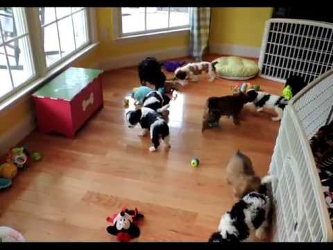 spectacular-cavachon-puppies-for-sale-at-dcdogfinders.com