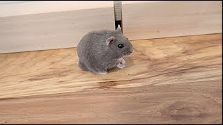 Hamster Trains For First Annual Hamster Olympics!