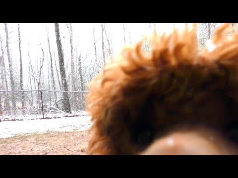 First Snow Blairsville, GA 2019: Poodle and Portuguese Water Dog