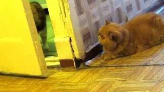Пончик и Макаронка. Прикол, кот экзот охотится за трехцветной кошкой.