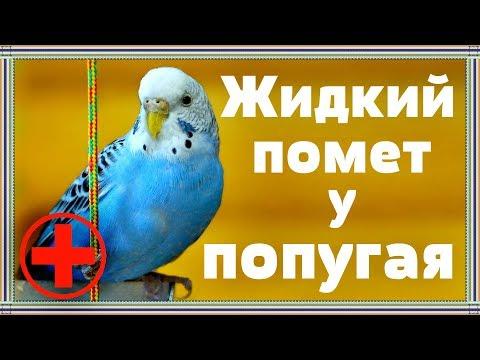 Временный жидкий помет у попугая.Когда это нормально и лечения не требует.