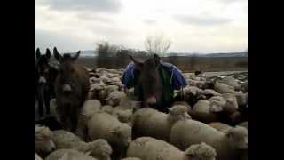 Bergers & Moutons Transhumance hivernale 2013  de David:       Suisse