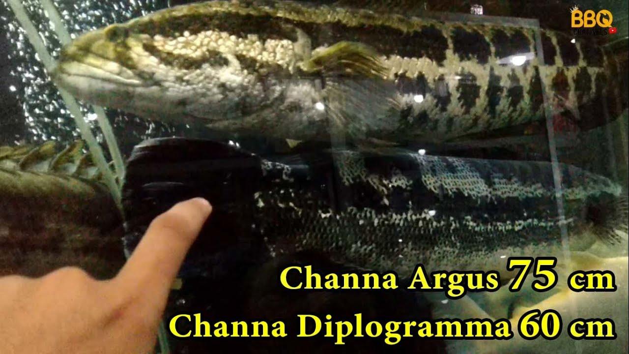 12 Jenis Ikan Gabus Dan Harganya By Memelihara Ikan