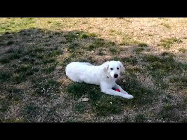 ADOPTADO! ProGolden: Dorian en el parque
