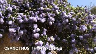 Ceanothus thyrsiflorus. Garden Center online Costa Brava - Girona.(Ceanothus thyrsiflorus. Garden Center online Costa Brava - Girona. Web: http://personalgardenshopper.es/, 2015-04-11T14:02:25.000Z)