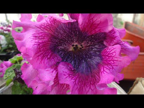 Как правильно прищипывать петунию видео Цветы в саду