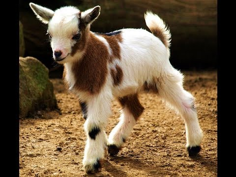 Funny Pictures Of Goats Little Goat Makes A Br...