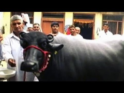 Man sells buffalo for Rs 25 lakh