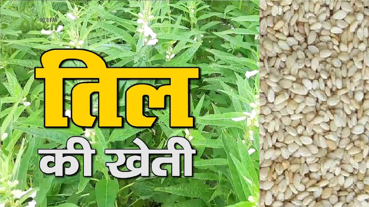 गरमा तिल की खेती    कम दिनों में ऐसे उगाएं एक कीमती फसल    Sesame Cultivation    Til ki kheti