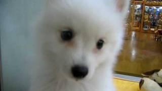 スピッツ(男の子) 毛色:ホワイト 2010年05月05日生まれ http://www.z...
