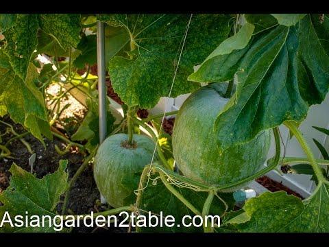 How to grow winter melon (冬瓜)