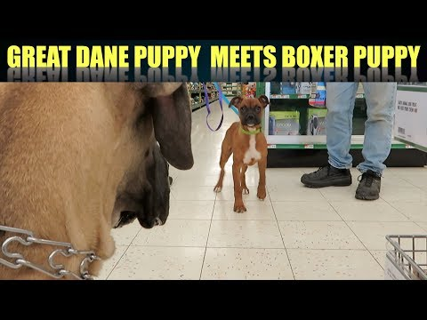 FINN THE GREAT DANE PUPPY MEETS A BOXER PUPPY
