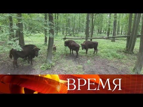 ВМосковской области несколько дней искали сбежавших изПриокско-Террасного заповедника зубров.