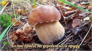 Много Белых грибов на Деревенском пруду | Лучшее грибное место этого года | Тихая охота
