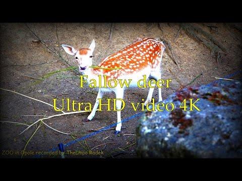 Fallow deer  - ZOO in Opole - Ultra HD video 4K