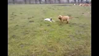 Max Und Asia....english Cocker-spaniel & Kangal Welpe *4 Monate*