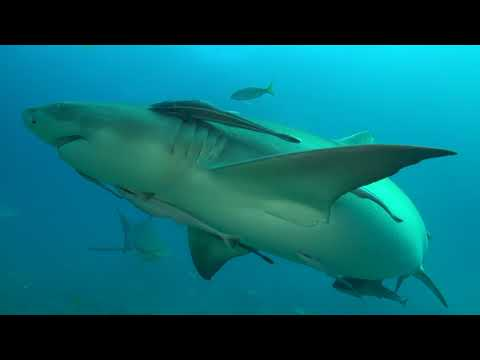 Lemon Shark - Expedition Notebook