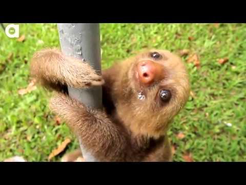 Прикол. Ленивцы издают звуки