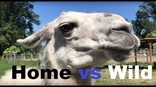 V.A. Home vs Wild fun animals - lama, frog, chicken and running Chipsy