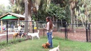 Puppy Training Off Leash Recall Lab Puppy Bo And Truffles Dogtra Pager