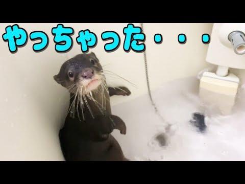 カワウソしゃもじがお風呂の栓を抜いて絶体絶命!!