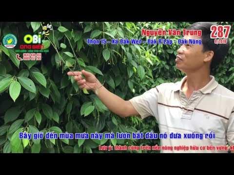 Kiểm chứng thực tế vườn tiêu tại Đắk Nông - Trồng tiêu dễ như trồng rau lang [OBI-287]