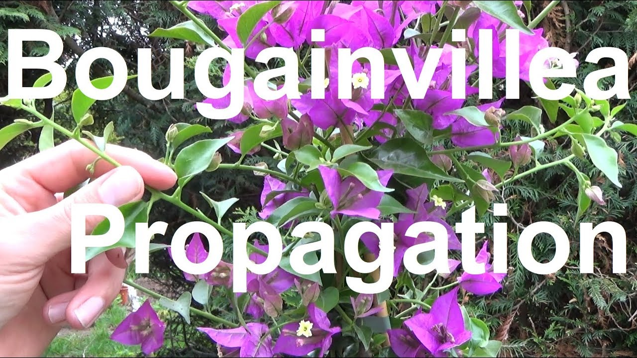Bougainvillea überwintern How To Propagate Bougainvillea From Cuttings Bougainvillea Propagation 1
