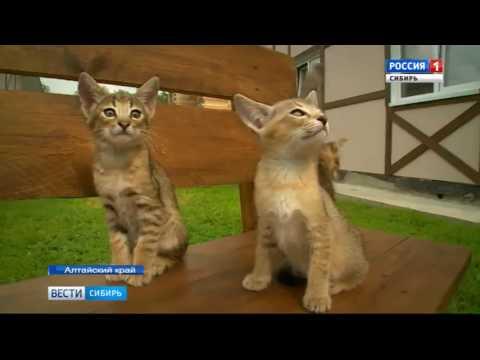 Котенка за миллион рублей продали в Барнауле - YouTube