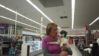6 m/o Mini Aussie/Cairn Terrier mix 'Sparky' Best Trainers Amarillo Tx Shelly Bayless
