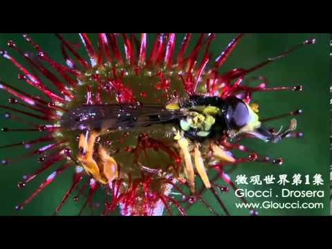 Drosera hunting insect