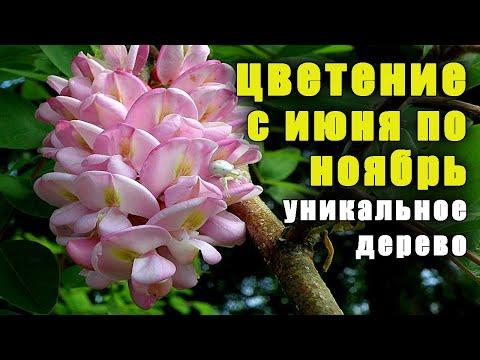 Уникальное дерево, цветет с ИЮНЯ по НОЯБРЬ, растение медонос, акация розовая. Робиния клейкая.