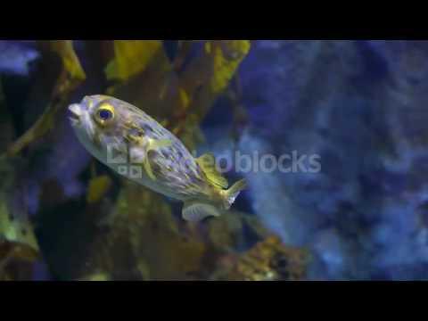 GLOBE FISH DIODON NICTHEMERUS SWIMMING IN AN AQUARIUM NJWAC 56L