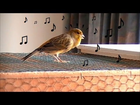 Canary's Winter symphony. Bird song