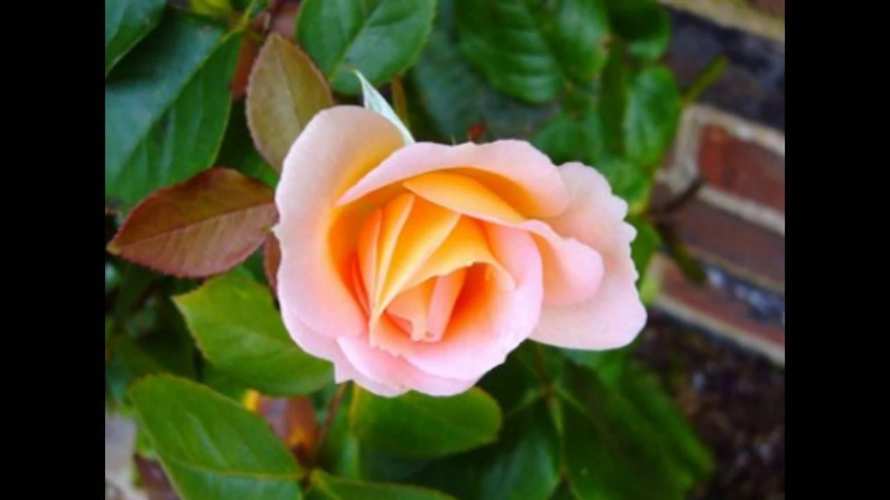 Rose rosebud flower youtube rose rosebud flower izmirmasajfo