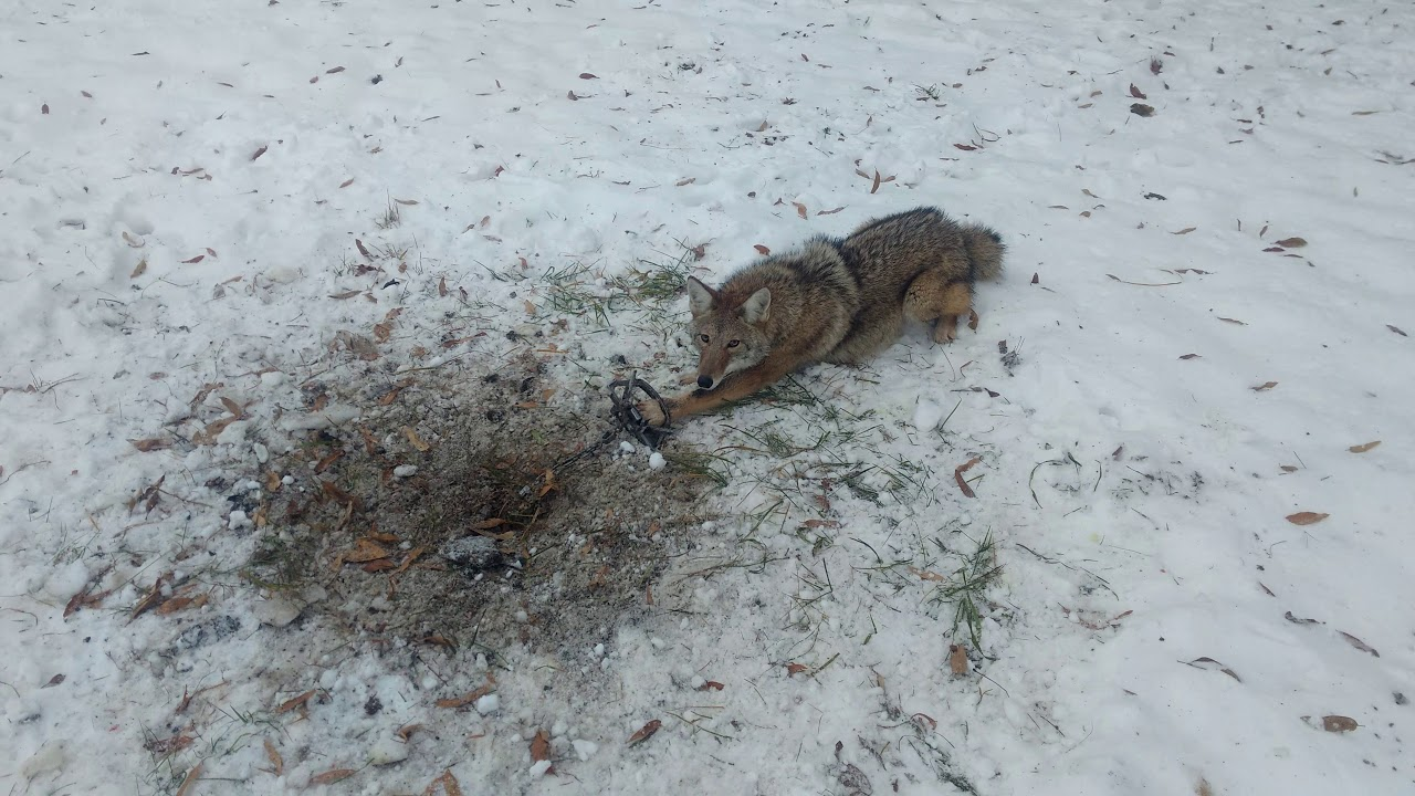 how to set coyote traps in snow