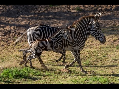 Baby Zebra Learns to Use Legs at San Diego Zoo Safari Park thumbnail