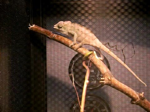 """Uribe"" the Ambanja Panther Chameleon"