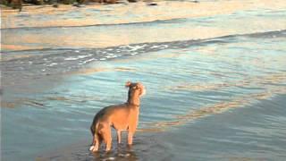 2011.8.30. 今年何度目かの海散歩。 トトもシャロリーも好き...