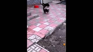 Кошка бьет собаку - защищает своих котят