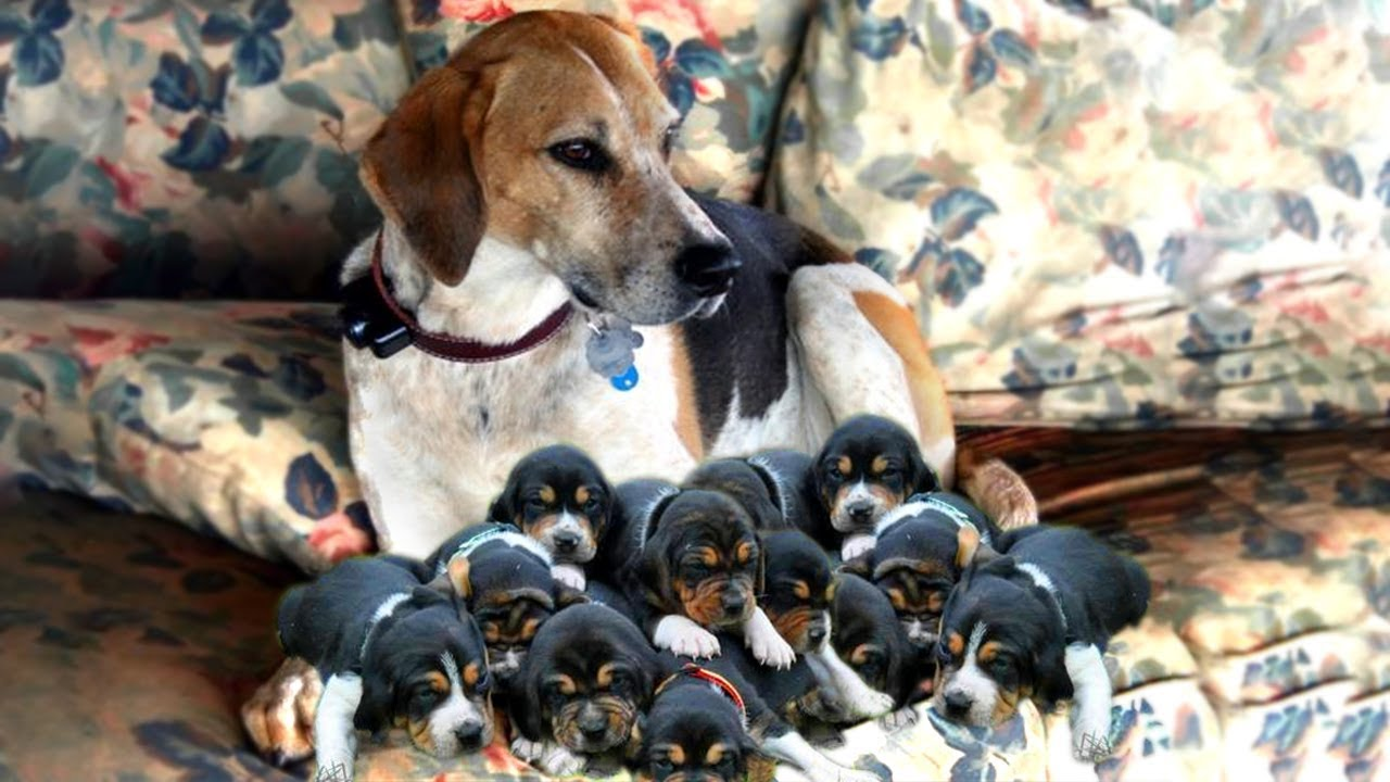 Cute Walker Dog Breed Giving Birth And Feeding Puppies Process